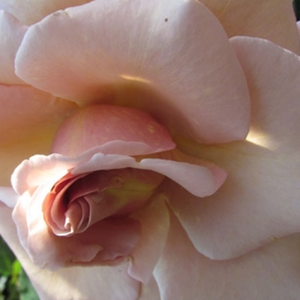 Buy Roses Online - Yellow - hybrid Tea - discrete fragrance - Versilia - NIRP International - Rich blooming, lasting blooming, beautiful pastel coloured flowers.