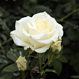 Virgo - white - pink - hybrid Tea