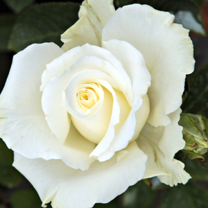 Roses Online Delivery - White - Pink - hybrid Tea - discrete fragrance -  Virgo - Charles Mallerin - Cluster-flowered, a flower can always be found on it, makes the flowerbed beautiful.