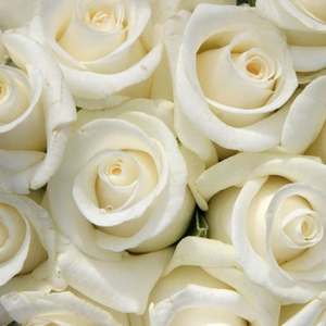 Roses Online Delivery - hybrid Tea - white - White Swan - discrete fragrance - Hendrikus Antonie Maria Verschuren-Pechtold - Perfect cut rose, not ideal for bed and borders.