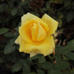 Frau E. Weigand - yellow - hybrid Tea