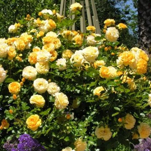 Canary yellow - hybrid Tea