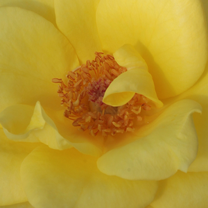 Rose Shopping Online - Yellow - hybrid Tea - intensive fragrance - Frau E. Weigand - Ludwig Weigand - It has decorative, yellow flowers. Its colour is long lasting.