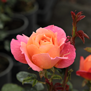 Rosa Animo - Gelb-orange - floribundarosen