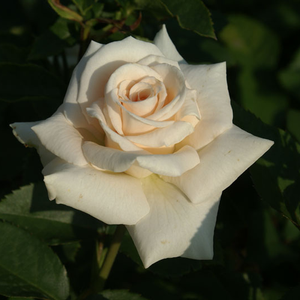 White cream-colored center - bed and borders rose - floribunda