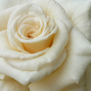 Rose Shopping Online - White - bed and borders rose - floribunda - discrete fragrance - Champagner ® - Reimer Kordes - Buds develop into fragrant, star-shaped flowers, which can decorate in a vase for a long time.