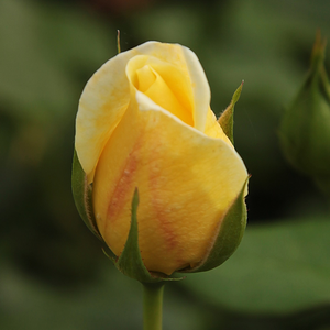 Casino - giallo - Rose Climber