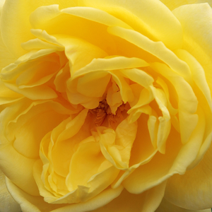Rose Shopping Online - climber rose - yellow - Casino - moderately intensive fragrance - Samuel Darragh McGredy IV - Perfect for decarating walls, fences or pillars, can be raised as a bush as well