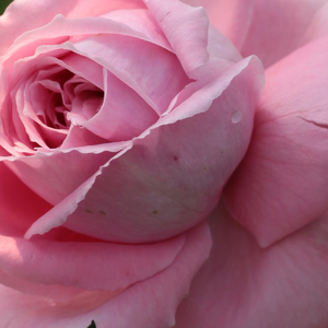Online Rose Nursery‎ - Coral Dawn - pink - climber rose - intensive fragrance - Eugene S. Boerner - Ideal for decorating bowers, bright colours,lasting clustered flowers