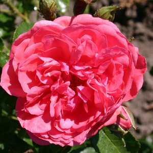Rosarium Uetersen® - rose - www.pharmarosa.co.uk