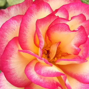 Online Rose Nursery‎ - Harlekin® - pink - white - climber rose - moderately intensive fragrance - Reimer Kordes - -