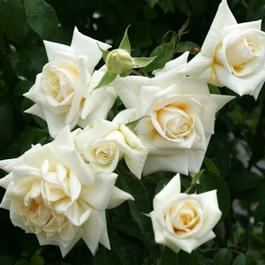Clear white - climber rose