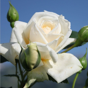 Ilse Krohn Superior® - white - climber rose