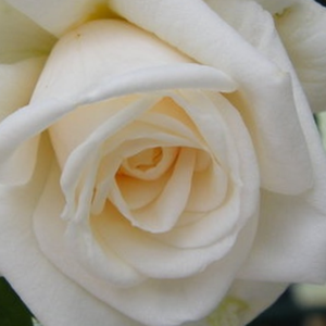 Rose Shopping Online - White - climber rose - moderately intensive fragrance - Ilse Krohn Superior® - Reimer Kordes - It has rich blooming with clustered flowers.