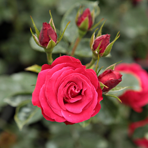 Blood red - climber rose