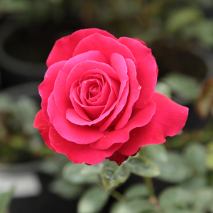 Zebrina - red - climber rose