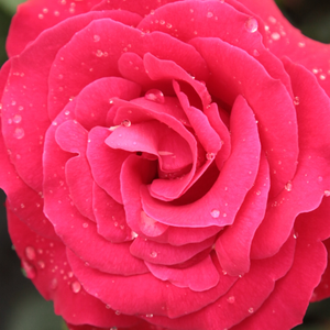 Buy Roses Online - Red - climber rose - discrete fragrance - Zebrina - - - Grows fast, beautiful foilage, bright coloured flowers, can be offered to everyone who likes climbers.