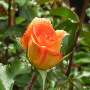Rosa Gypsy Dancer - orange - park und strauchrosen