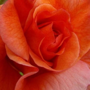 Rose Shop Online - park rose - orange - Gypsy Dancer - discrete fragrance - Patrick Dickson - Well growing, bright coloured, rich and decorative flowers, beautiful foliage