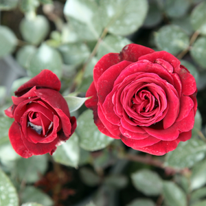 Rosa Don Juan - rouge - rosiers grimpants