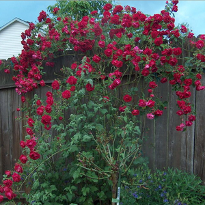 Crimson red - climber rose