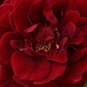 Buy Roses Online - Red - climber rose - intensive fragrance -  Don Juan - Michele Malandrone - Prefered rose. Thick, lasting blooming.