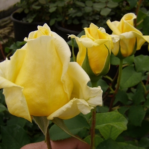Rosa Royal Gold - geel - klimroos
