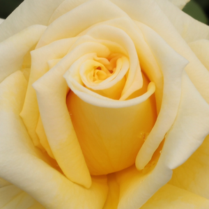 Online Rose Nursery‎ - Royal Gold - yellow - climber rose - moderately intensive fragrance - Dennison Harlow Morey - Bright colours, cone shaped flowers, ideal for
