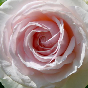 Buy Roses Online - White - Pink - climber rose - discrete fragrance - Schwanensee® - Samuel Darragh McGredy IV - Ideal for climber wall, fence or for other supporter stuctures.