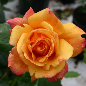 Rosa Sutter's Gold - orange - kletterrosen