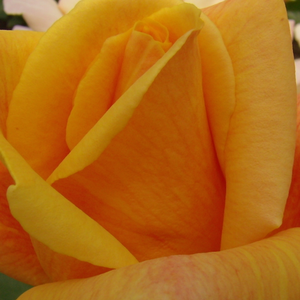 Rose Shopping Online - Orange - climber rose - intensive fragrance - Sutter's Gold - O.L.