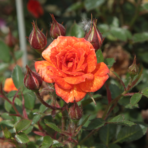 Baby Darling - orange - miniature rose