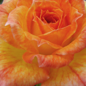 Roses Online Delivery - Orange - miniature rose - intensive fragrance -  Baby Darling - Ralph S. Moore - Perfect for decorating edges. Blooms in flushes throughout the season. It can be a nice decoration of a balcony and a terrace.