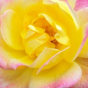 Buy Roses Online - Yellow - Pink - miniature rose - no fragrance - Baby Masquerade® - Mathias Tantau, Jr. - Perfect for decorating edges. Almost always blooming throughout the season.
