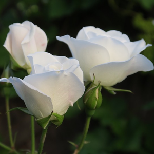 Bianco - white - miniature rose