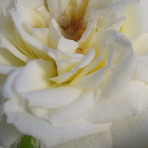 Rose Shopping Online - White - miniature rose - no fragrance - Bianco - Anne G. Cocker - Ideal for decoraing edges, looks good in front of taller plants. Blooming all the time in clusters.