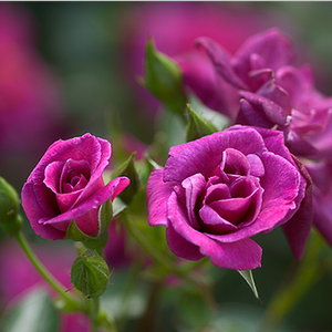 Blue Peter - purple - miniature rose