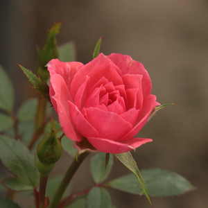 Rennie's Pink - pink - miniature rose