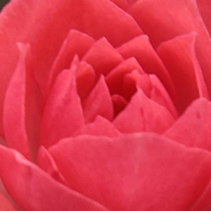 Rose Sales Online - Rennie's Pink - pink - miniature rose - discrete fragrance - Bruce F. Rennie - Perfect for decorating, always blooming throughout the season.