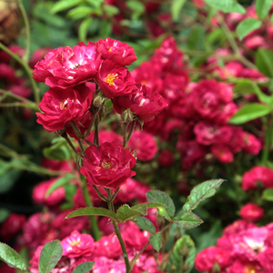 Fairy Dance - red - bed and borders rose - polyantha
