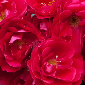 Buy Roses Online - Red - bed and borders rose - polyantha - discrete fragrance - Fairy Dance - Harkness & Co. Ltd - Rich, curly, cluster-flowered flowers, 20-30 always blooming flowers in different stadium even on one branch. Perfect for decorating edges, looks great when planted into groups.