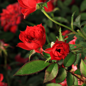 Detroit - red - miniature rose