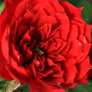 Online Rose Nursery‎ - Detroit - red - miniature rose - discrete fragrance - - - Ideal for decorating edges, cluster-flowered, small flowers