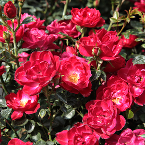 Crimson red - bed and borders rose - polyantha