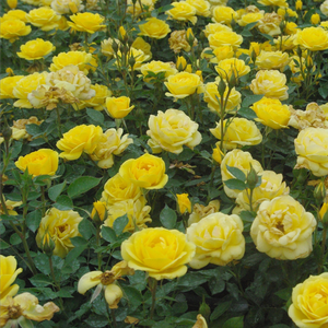 Warm golden yellow - miniature rose