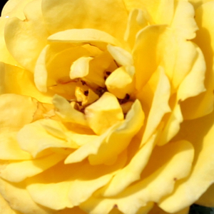 Rose Shop Online - miniature rose - yellow - Gold Pin - discrete fragrance - Mattock, John - Warm colour, cluster.flowered, ideal for decorating edges. Beautiful when planted in front of bigger plants