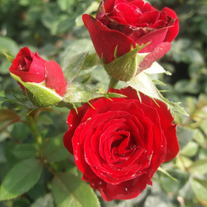 Dark red - miniature rose