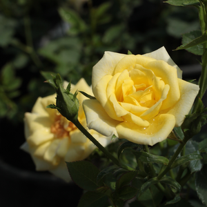 Mandarin® - yellow - miniature rose