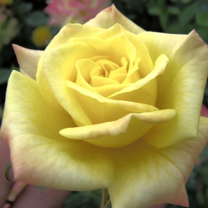 Roses Online Delivery - Yellow - miniature rose - discrete fragrance -  Mandarin® - W. Kordes & Sons - Cluster-flowered, in different blooming stages. From yellow to orange pink.Rich blooming, ifeol for decoratin edges