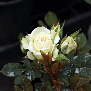 Rosa  Moonlight Lady - bílá - Mini růže